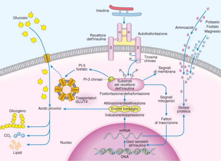 azione insulina
