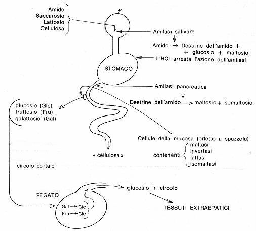 digestione carboidrati