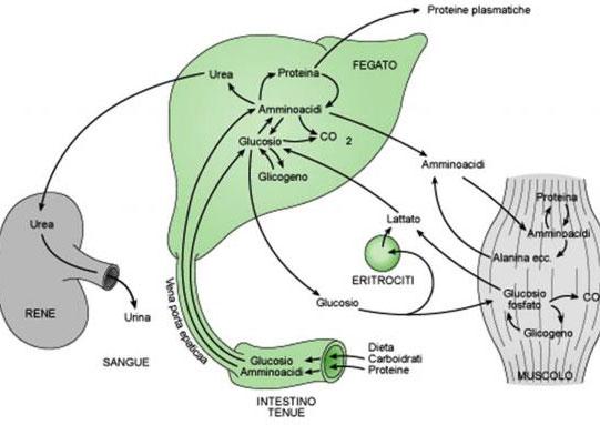 carboidrati fegato