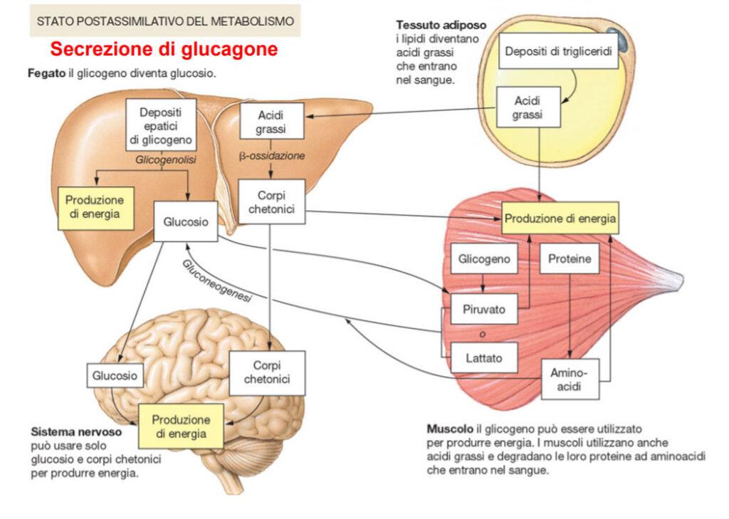 secrezione glucagone